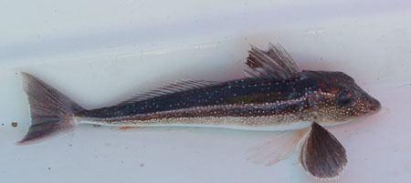 Grey gurnard A fish blogcomThe fish that snarl Grey Gurnard