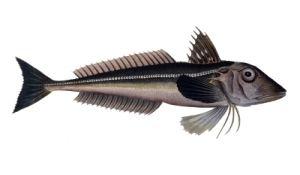 Grey gurnard britishseafishingcoukwpcontentuploads201209