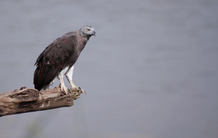 Grey-headed fish eagle FileGrey Headed Fish Eagle Ichthyophaga ichthyaetusjpg