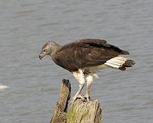 Grey-headed fish eagle httpsuploadwikimediaorgwikipediacommonsthu