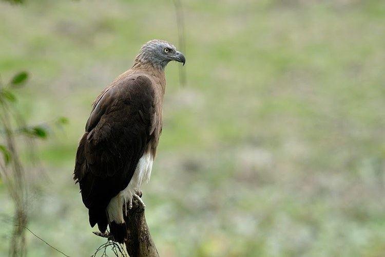 Grey-headed fish eagle Greyheaded Fish Eagle Walk the Wilderness