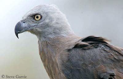 Grey-headed fish eagle Greyheaded Fish Eagle