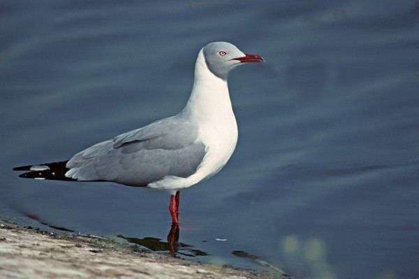 Grey-headed gull Greyheaded Gull Birds I39ve seen Pinterest Africa South