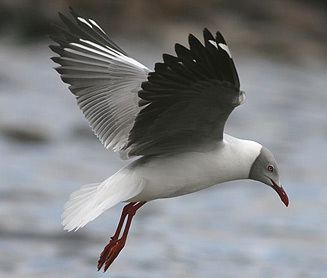 Grey-headed gull wwwbiodiversityexplorerorgbirdslaridaeimages