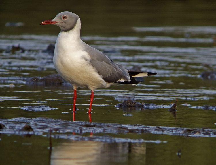 Grey-headed gull Greyheaded gull Wikipedia