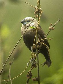 Grey-headed mannikin httpsuploadwikimediaorgwikipediacommonsthu