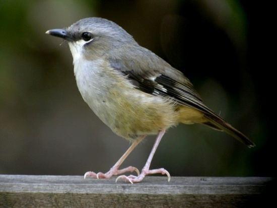 Grey-headed robin wwwbirdforumnetopusimagesthumbaaaGreyhead