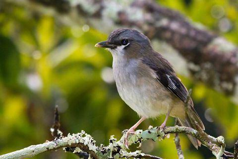 Grey-headed robin Greyheaded Robin Bushpea 611
