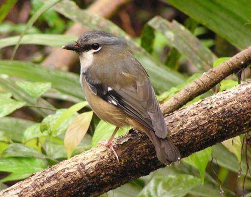 Grey-headed robin Greyheaded Robin Poecilodryas albispecularis
