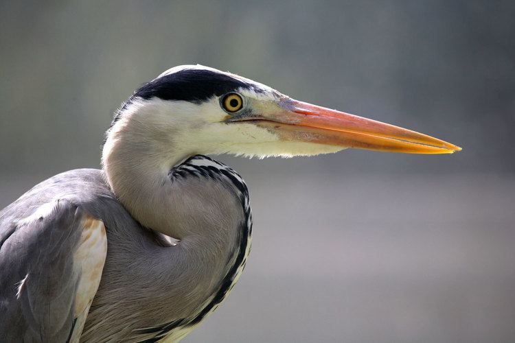 Grey heron WATCHING OUT FOR WADING BIRDS Cornwall Life