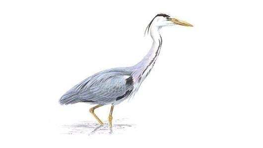 Grey heron The RSPB Grey heron
