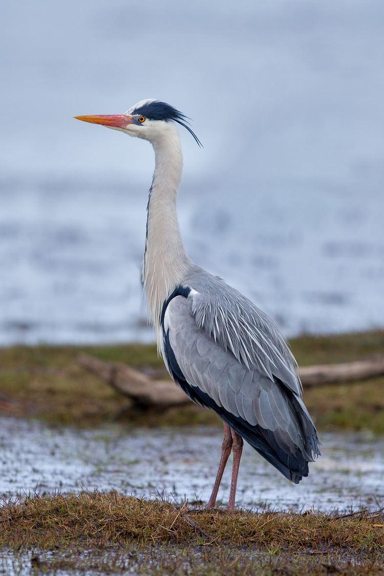 Grey heron Grey heron Wikipedia