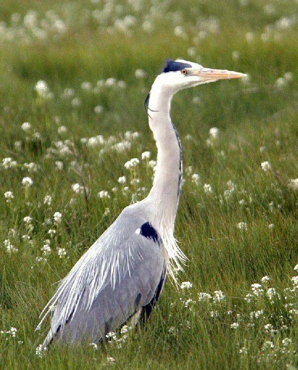 Grey heron Grey Heron