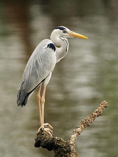 Grey heron Large Herons amp Egrets of SE Asia