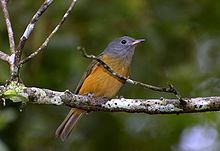 Grey-hooded flycatcher httpsuploadwikimediaorgwikipediacommonsthu