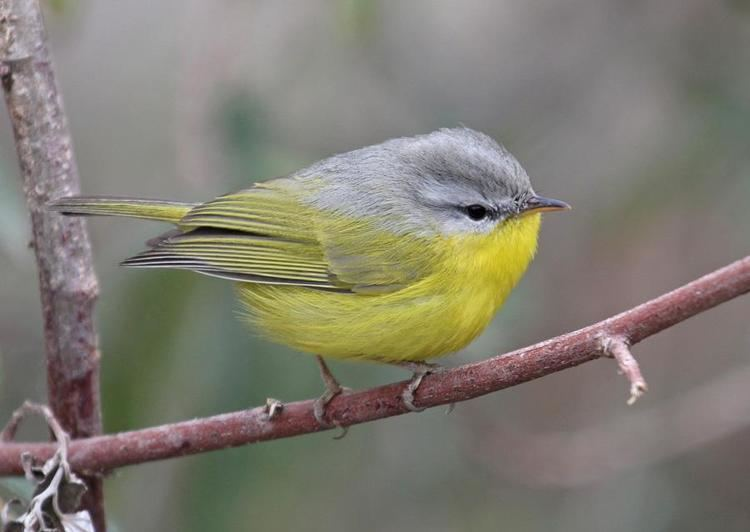 Grey-hooded warbler Greyhooded Warbler Seicercus xanthoschistos videos photos and
