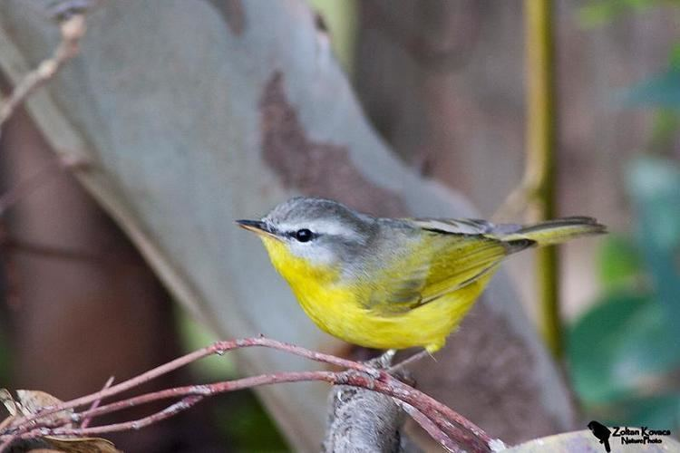 Grey-hooded warbler Greyhooded Warbler Seicercus xanthoschistos Islamabad greenbelt
