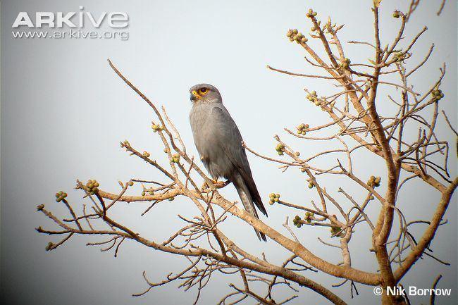 Grey kestrel Grey kestrel videos photos and facts Falco ardosiaceus ARKive