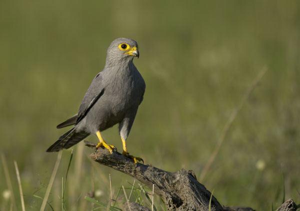 Grey kestrel Malcolm Schuyl Wildlife Photography Grey Kestrel Falco ardosiaceus