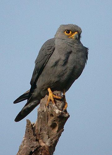 Grey kestrel Surfbirds Online Photo Gallery Search Results