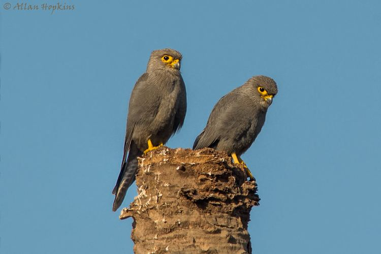 Grey kestrel Grey Kestrel Falco ardosiaceus Pair perched on a dead pa Flickr