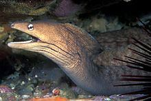 Grey moray httpsuploadwikimediaorgwikipediacommonsthu