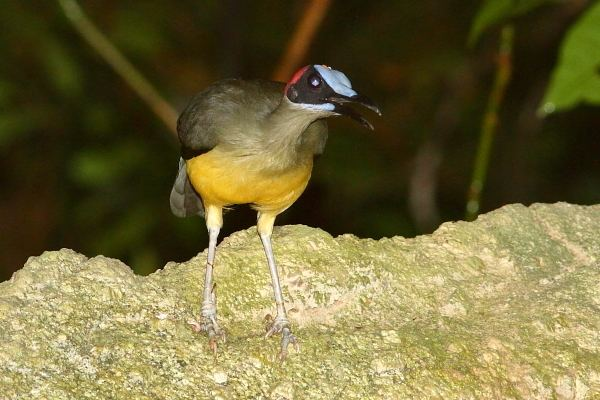 Grey-necked rockfowl Rockjumper Worldwide Birding Adventures Picathartes Africa39s