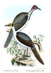 Grey-necked rockfowl httpsuploadwikimediaorgwikipediacommonsthu