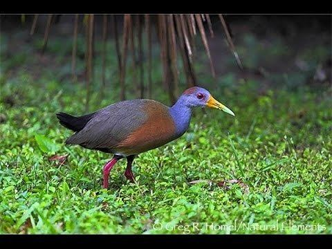 Grey-necked wood rail Gallina de Agua aka GreyNecked Wood Rail sound only YouTube