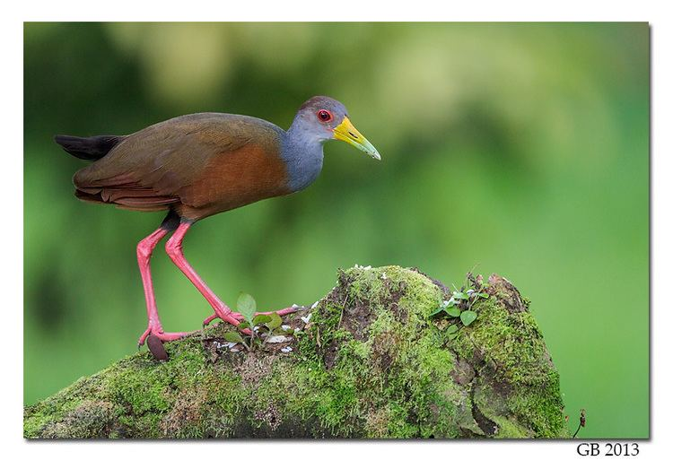 Grey-necked wood rail GRAYNECKED WOODRAIL