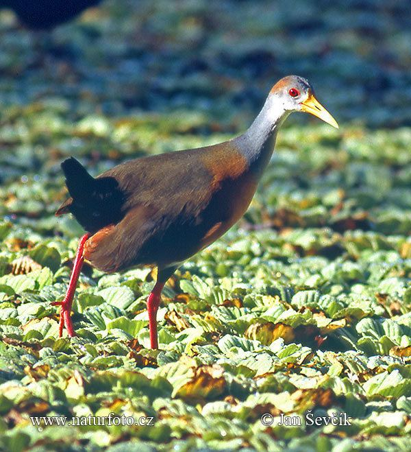 Grey-necked wood rail Greynecked WoodRail Pictures Greynecked WoodRail Images