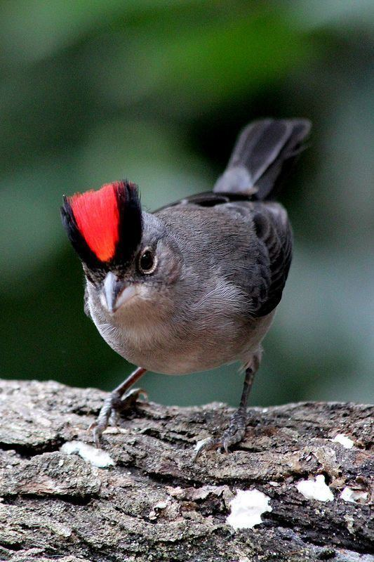 Grey pileated finch Pinterest The world39s catalog of ideas