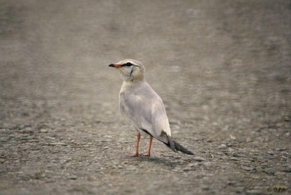 Grey pratincole African Bird Club