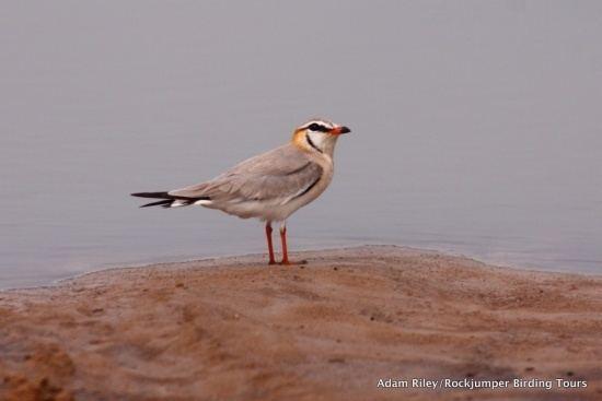Grey pratincole Grey Pratincole BirdForum Opus