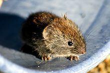 Grey red-backed vole httpsuploadwikimediaorgwikipediacommonsthu