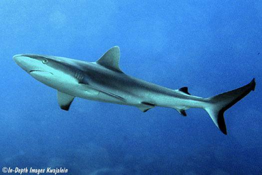 Grey reef shark Don39t be afraid of the shark Grey Reef Sharks