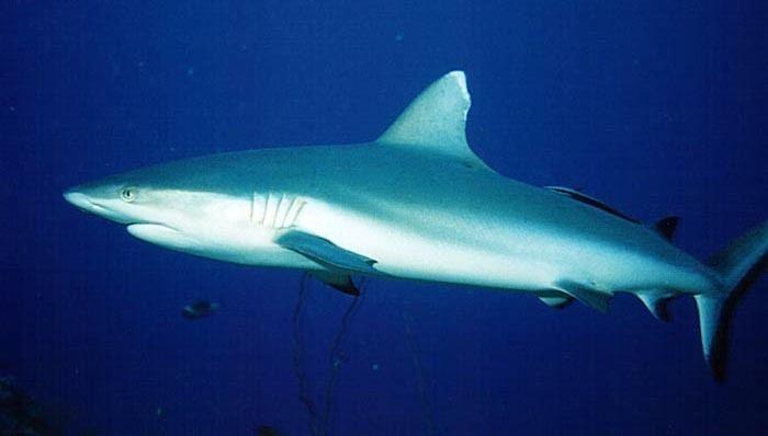 Grey reef shark Grey reef shark Wikipedia