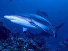 Grey reef shark httpsuploadwikimediaorgwikipediacommonsthu
