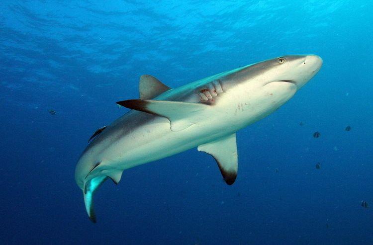 Grey reef shark Grey Reef Shark Animal Wildlife