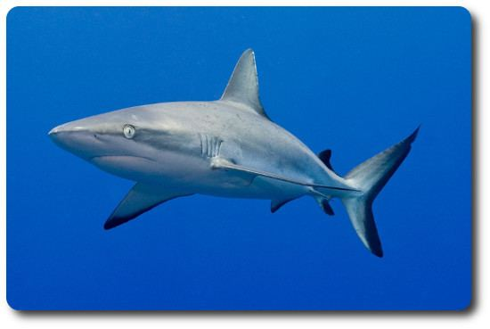 Grey reef shark Information About Sharks Like The Gray Reef Shark Shark Sider