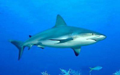 Grey reef shark Gray Reef Sharks Carcharhinus amblyrhynchos MarineBioorg