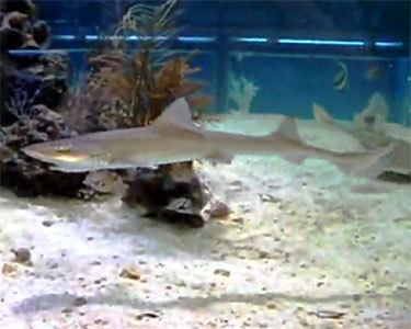 Grey smooth-hound Grey Smooth Hound Shark Aquarium Hobbyist Social Networking