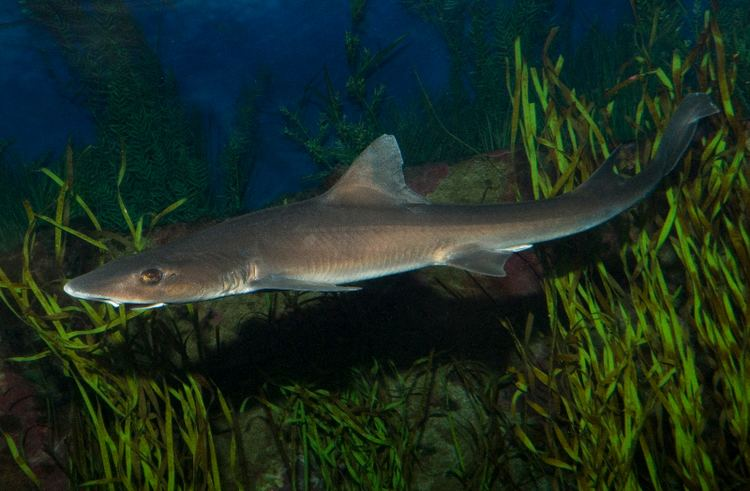 Grey smooth-hound Gray Smoothhound Shark