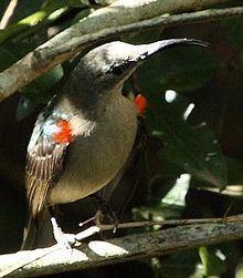 Grey sunbird httpsuploadwikimediaorgwikipediacommonsthu
