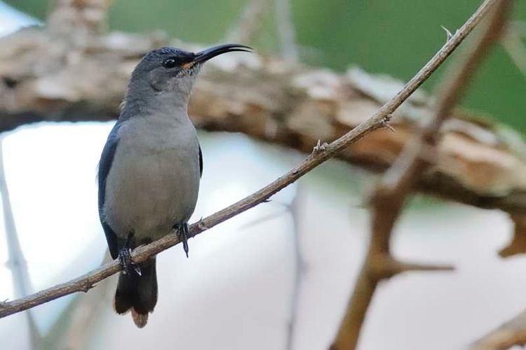 Grey sunbird Grey Sunbird