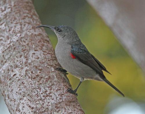 Grey sunbird Grey Sunbird Cyanomitra veroxii Buckham Birding