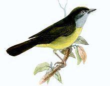 Grey-throated warbler httpsuploadwikimediaorgwikipediacommonsthu
