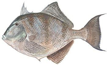 Grey triggerfish Gray Triggerfish
