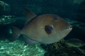 Grey triggerfish Grey Triggerfish Balistes Capriscus Cyprus Scuba Diving Holiday Blog