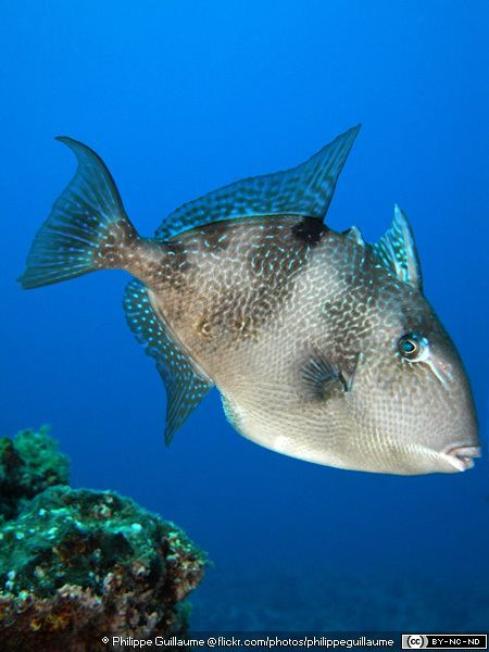 Grey triggerfish Grey Triggerfishes Balistes capriscus MarineBioorg